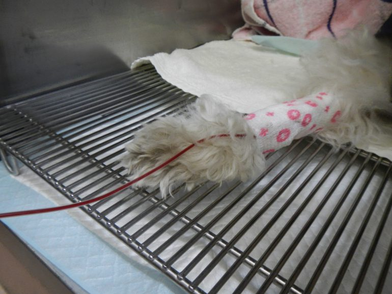 犬 オゾン療法 大量自家血
