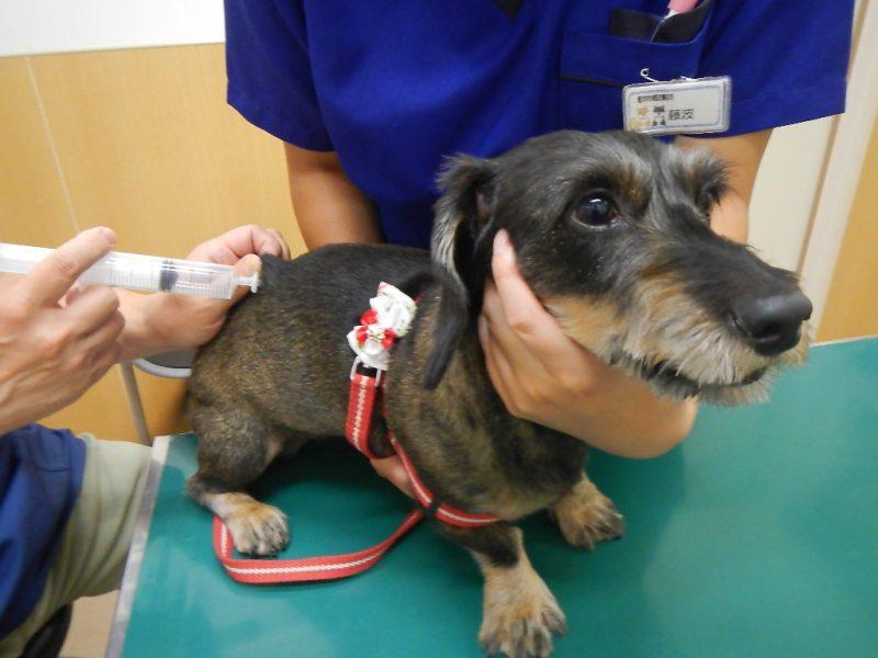 犬 オゾン療法 局所注射
